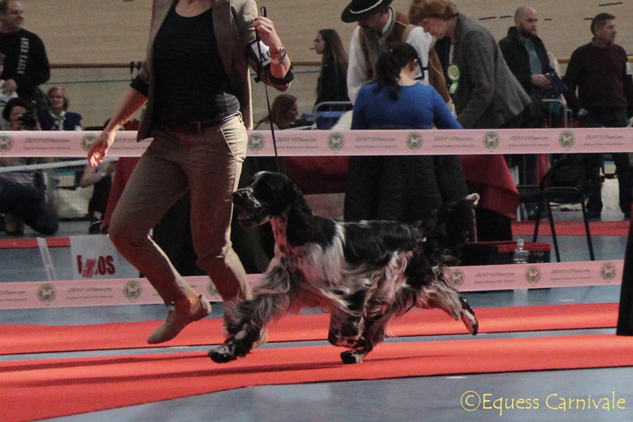 springer-spaniel-na wystawie