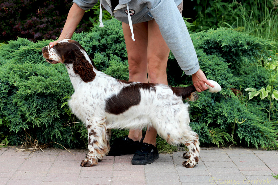 springer-spaniel-angielski-belly2