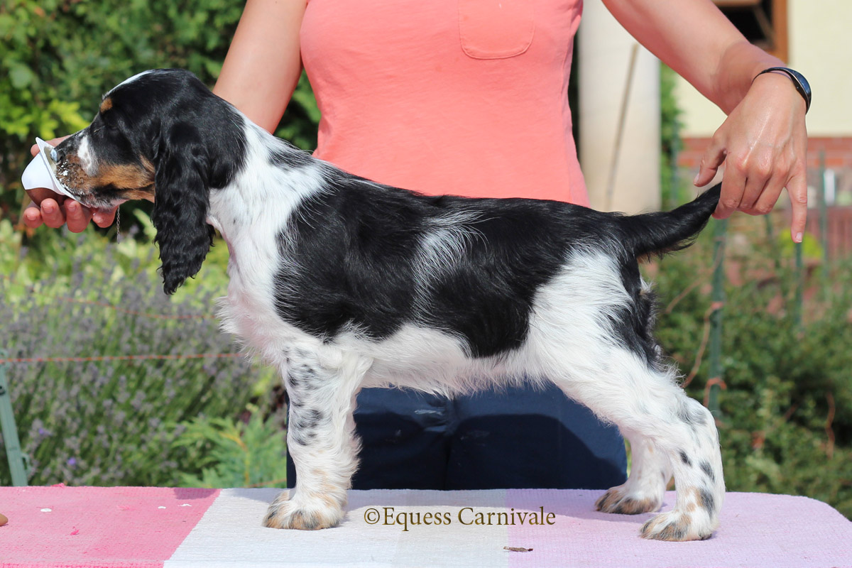 Springers breed by us